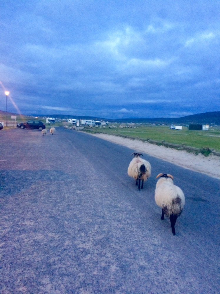 Sheep heading for home