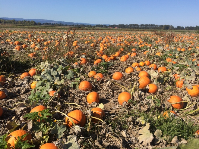 Pumpkin Patch @ Sauvie Island
