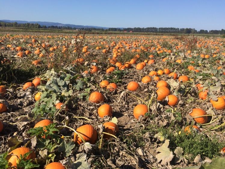 Pumpkin Patch @ Sauvie Island