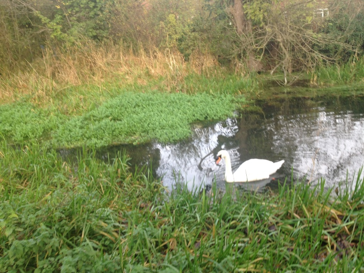 2014-11-15-pugwash-mandarin-21-swan.jpg