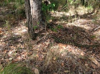 Carpet Python seen on hike for GC3X2PJ Stern Up