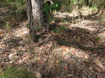 Carpet Python seen on hike for GC3X2PJ Stern Up