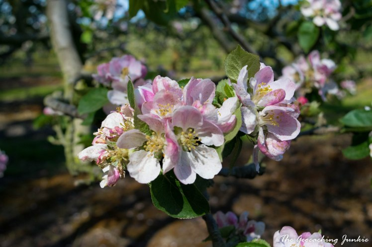 Armagh apple blossoms-15