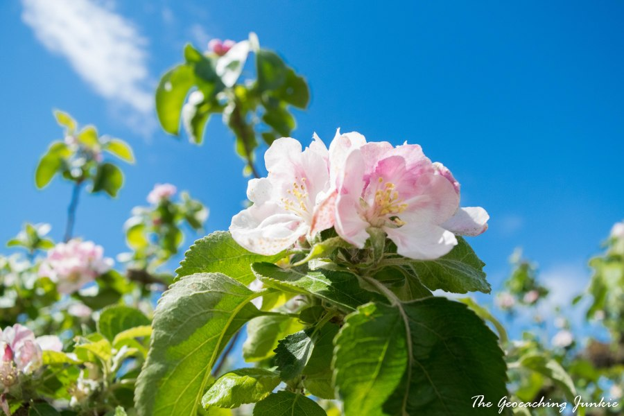 Armagh apple blossoms-17