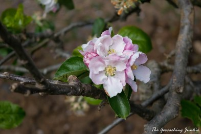 The Geocaching Junkie: Armagh's apple blossoms in May