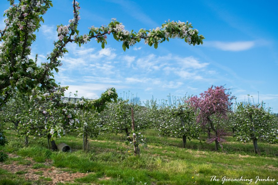 Armagh apple blossoms-5
