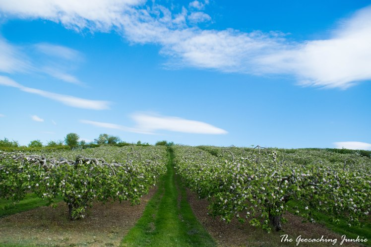 Armagh apple blossoms-6