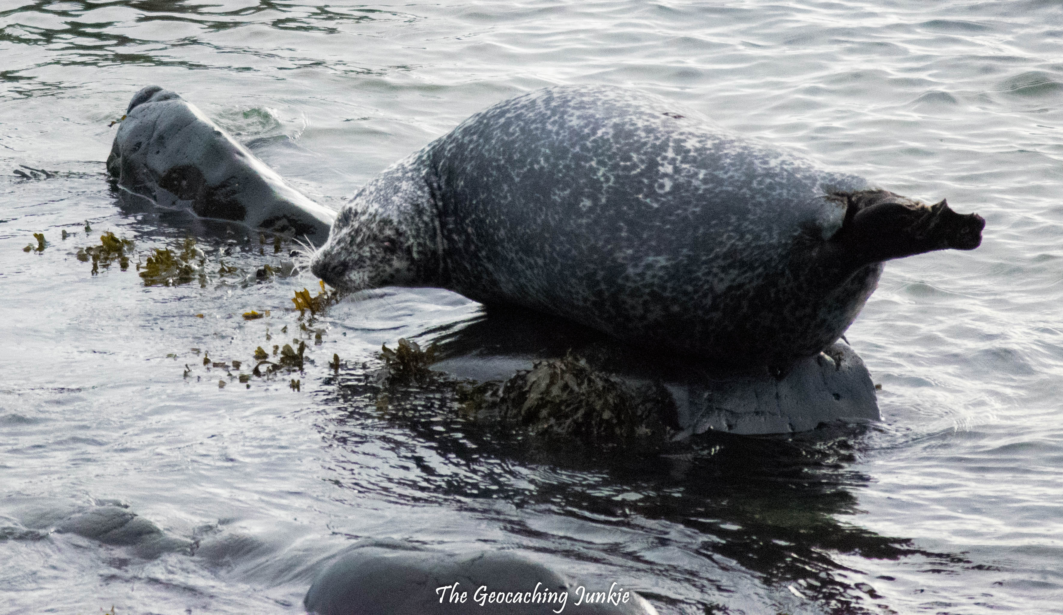 Rathlin Island seals-3