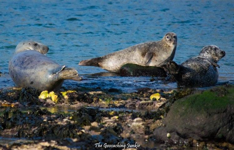 Rathlin Island seals-7