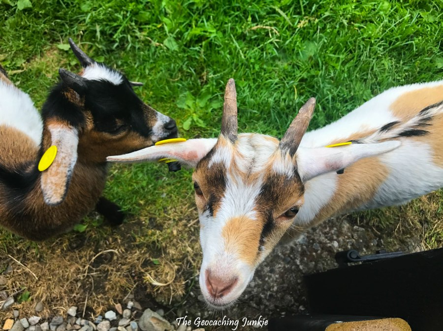 Castle Ward farm goats